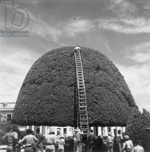 A species of fig receives a bi-montly pruning in Managua, Managua, Nicaragua, 1944 (b/w photo)