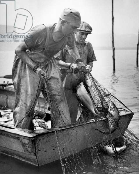 Fishermen pull up shad fish from the waters of the Hudson River. Shad fishermen go out on the Hudson as soon as the tide recedes, New York City, New York, United States, 1947 (b/w photo)