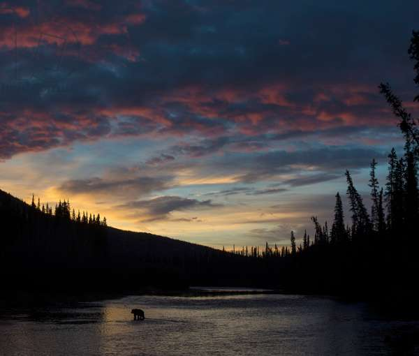 A grizzly bear, Ursus arctos, hunting salmon in a river at twilight (photo)
