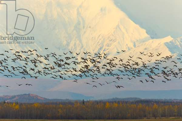 Migrating sandhill cranes, Grus canadensis, and snowy Alaska Range (photo)
