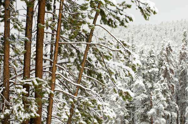 A snow-covered forest of evergreen trees (photo)