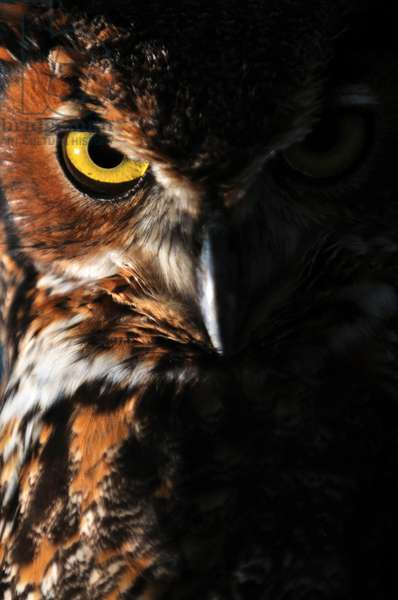Portrait of a great horned owl, Bubo virginianus (photo)