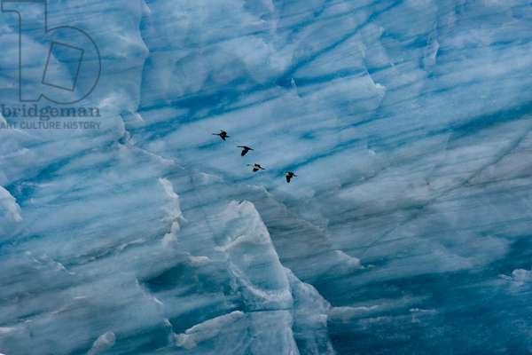 Imperial cormorants cross the veined face of Pío XI Glacier (photo)