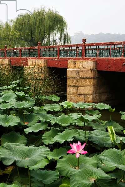 Lotus water lilies growing near a footbridge on Kunming Lake, near the Summer Palace (photo)