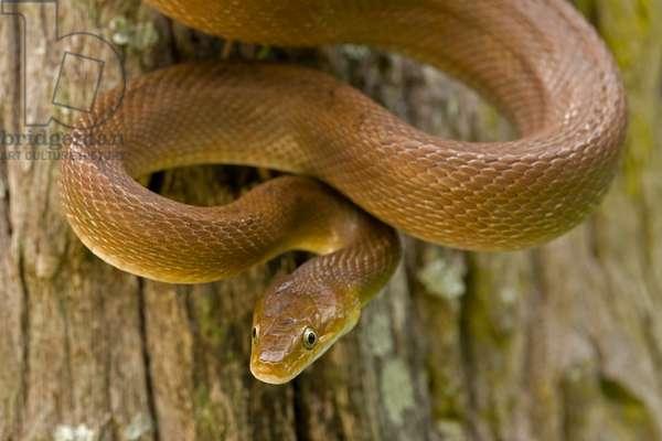 Close up portrait of a tropical rat snake, Senticolis triaspis (photo)