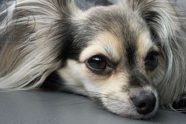 Close up portrait of a year-old male long hair chihuahua (photo)