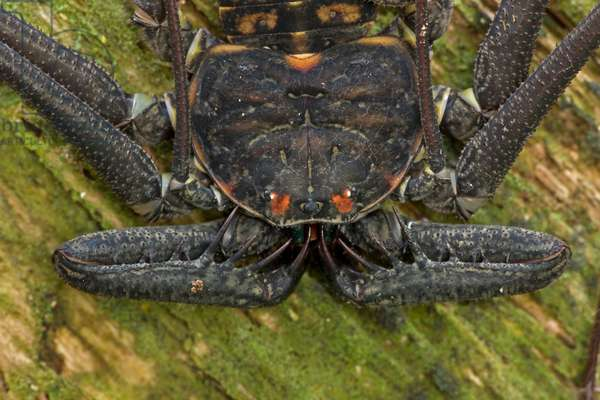 Close up portrait of a tailless whipscorpion, Phrynus whitei (photo)