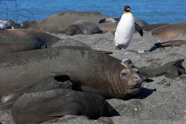 An elephant seal with tracking transmitter on its head (photo)