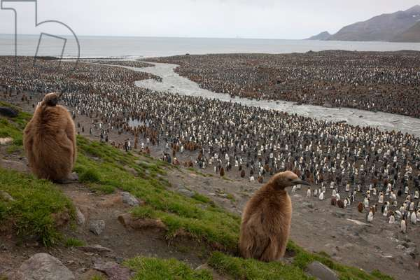 Adult king penguins with oakum boys on Saint Andrews (photo)