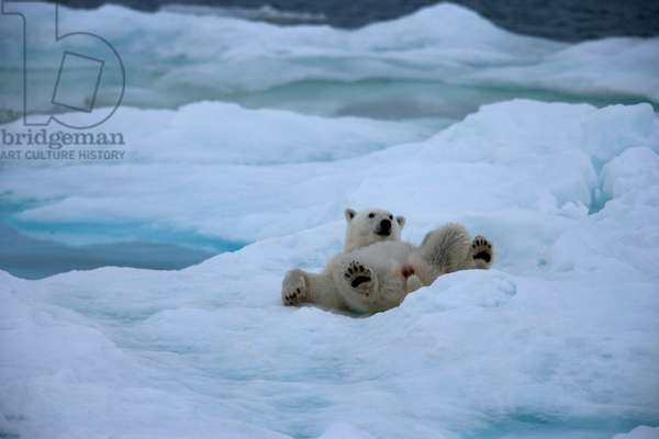 A polar bear relaxing on an ice pack (photo)