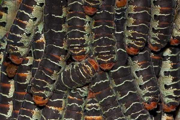 Giant silkworm caterpillars, Arsenura armida, on a tree trunk (photo)