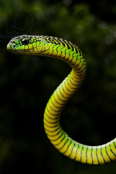 With fangs in the back of its mouth, the boomslang delivers a killer bite (photo)