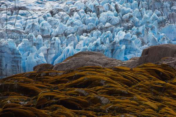 Mosses and lichens cover rock exposed by Témpano Glacier's retreat (photo)