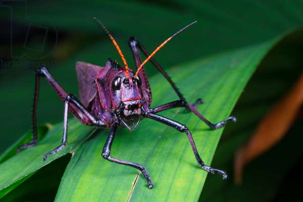 A lubber grasshopper, Taeniopoda reticulata, searching for a mate (photo)