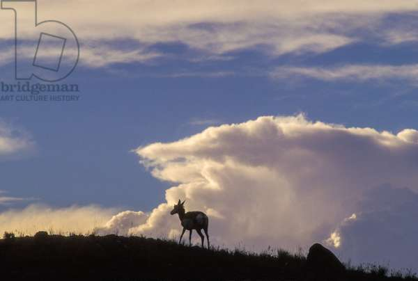 A pronghorn antelope stands on the crest of a hill silhouetted against a puffy cloud (photo)