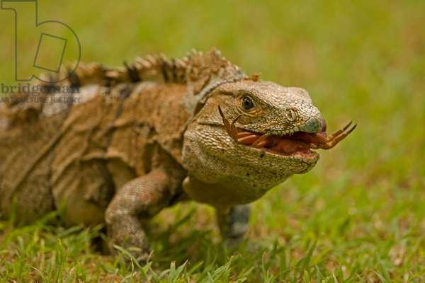 A spiny-tailed iguana, Ctenosaura similis, eating a crab (photo)