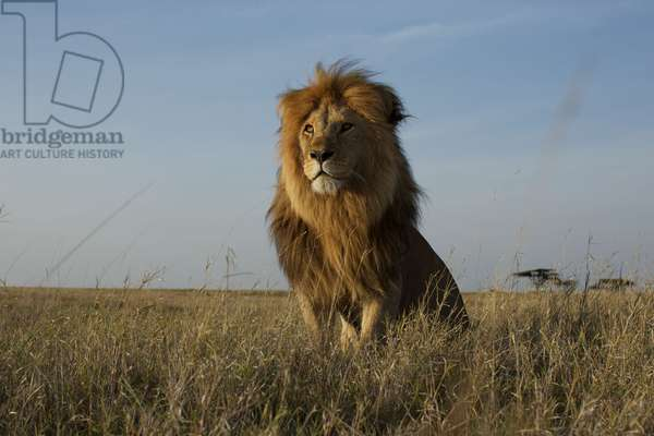 A robot car captures an adult male lion at rest in the Serengeti plains (photo)