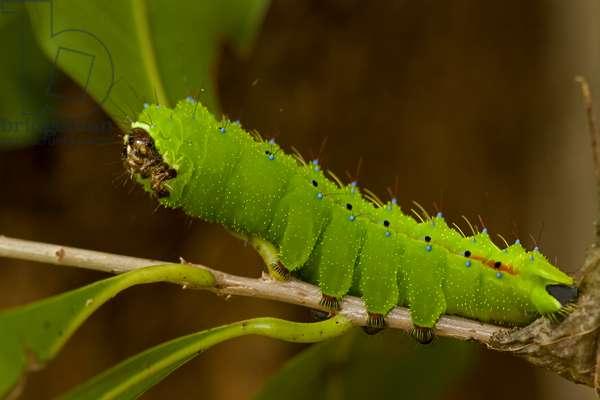 A saturnid moth caterpillar, Cpaxa moinieri, on a twig (photo)
