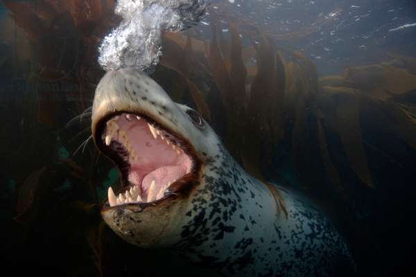 A leopard seal blowing bubbles in a behavioral display (photo)