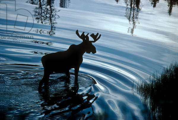 A bull moose feeds on abundant sedges and forbs in a shallow pond on the shore of Yellowstone Lake (photo)