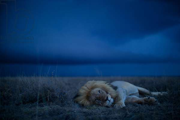 A robot car captures an adult male lion resting in the Serengeti plains (photo)