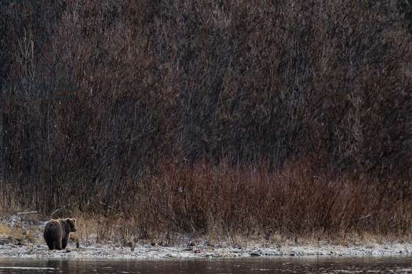 A grizzly bear cub, Ursus arctos, walking along the banks of a river where it fishes for salmon (photo)
