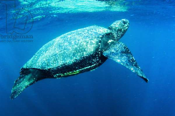 A leatherback turtle in underwater foraging grounds (photo)