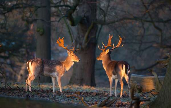 Two fallow deer stags illuminated by the early morning sunrise in Richmond Park (photo)