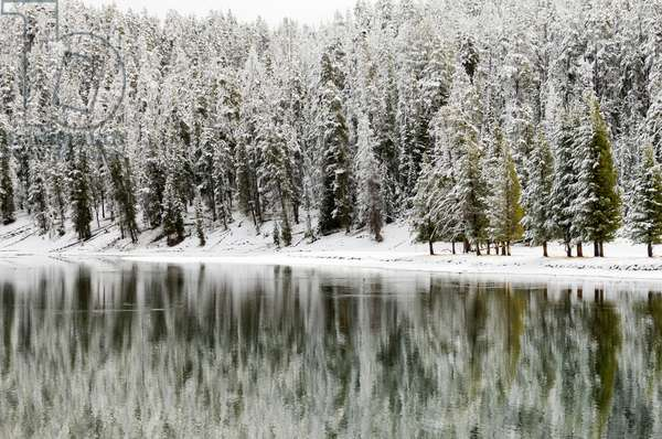 A snow-covered forest of evergreen trees on the banks of Yellowstone Lake (photo)