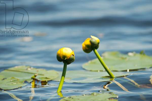 Water lilies on Long Pond