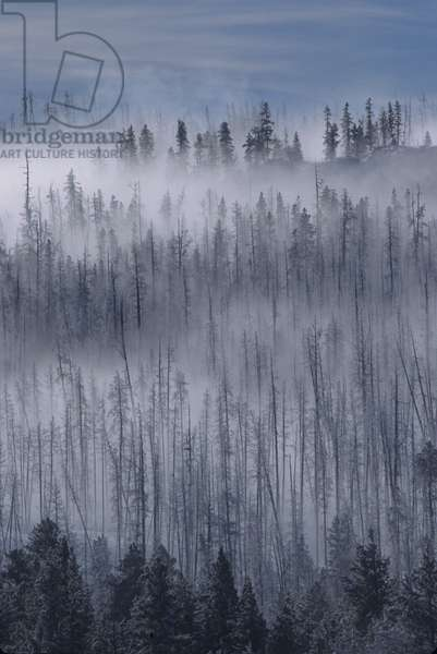 Fog rising from a pine tree forest in winter (photo)