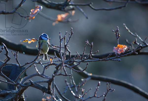 A blue tit rests on a branch in Richmond Park at sunrise (photo)