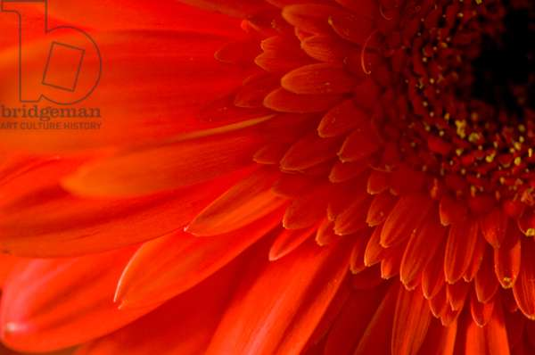 A close up of a Gerbera Daisy