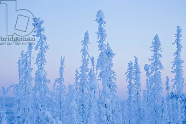 A snow and ice covered evergreen forest along the Dempster Highway (photo)