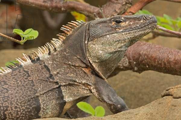 Close up portrait of a spiny-tailed or black iguana, Ctenosaura similis (photo)