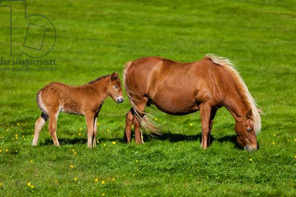 An Icelandic pony and a colt in a green meadow