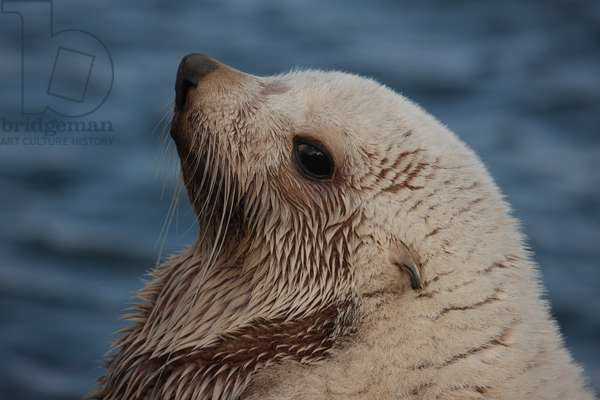 A blond fur seal (photo)