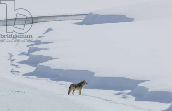 A coyote, Canis latrans, walking on the ice of the Yellowstone River (photo)
