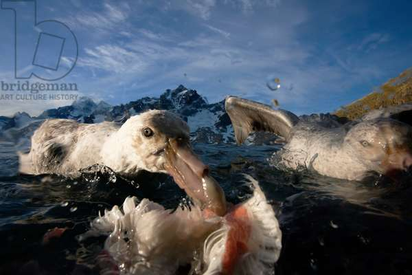 Giant petrels scavenging a dead penguin (photo)