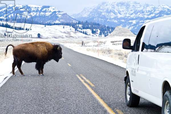 A buffalo crosses the road in front of a touring van, Lamar Valley, Yellowstone National Park, 2012 (photo)