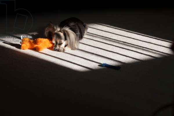 A two-year-old, male, long-haired chihuahua asleep in his favorite spot in the sun (photo)