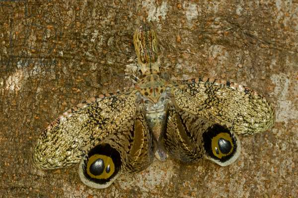 A lantern fly, Fulgora lampetis, in a defensive display of eyespots (photo)
