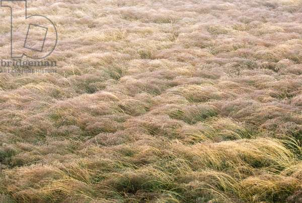 A meadow full of Indian rice grass (photo)