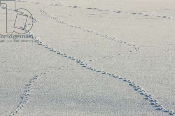 Coyote tracks in snow (photo)