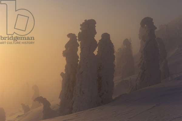 Sunset on Arber Mountain illuminates spruce trees enveloped in frozen snow and shaped by wind (photo)