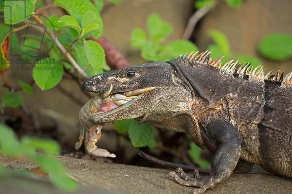 A spiny-tailed or black iguana, Ctenosaura similis, eating a crab (photo)