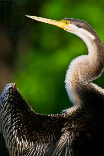 A roosting long-necked Australian darter drying its wing feathers (photo)