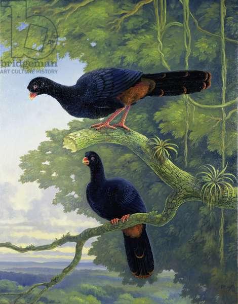 Lesser Razor-billed Curassow (Mitu tomentosa), 1999 (oil on canvas)
