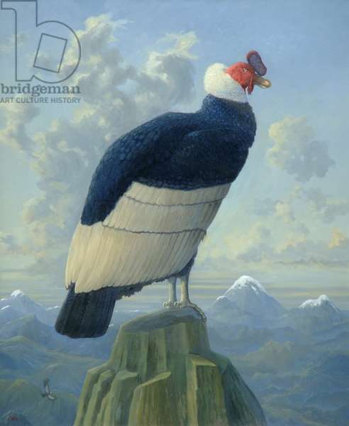 Andean Condor (Vultur gryphus) (oil on canvas)