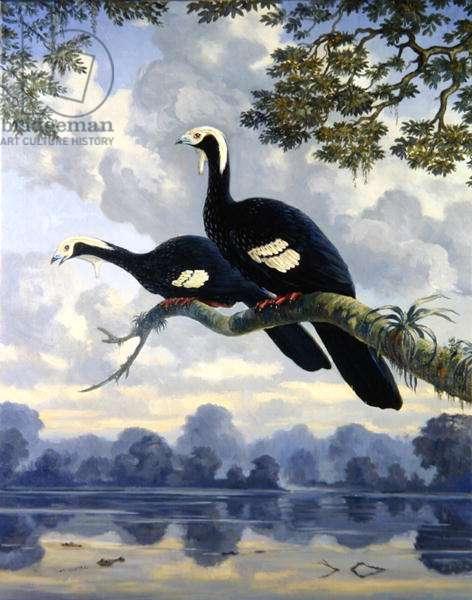 Gray's Piping-guan (Pipile cumanensis grayi) 1997 (oil on canvas)